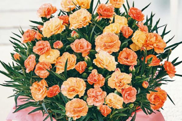 オレンジのカーネーションの花言葉