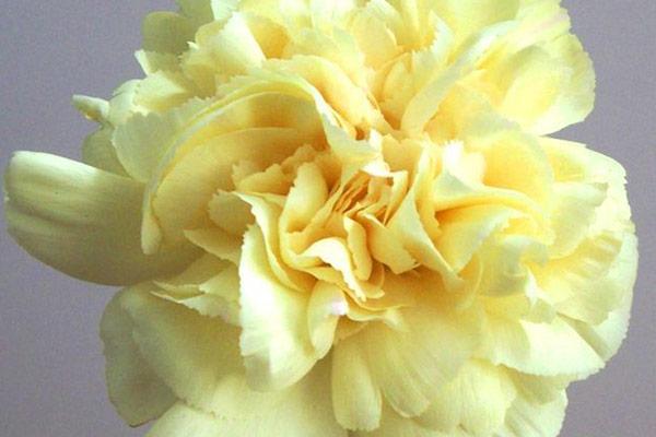 黄色のカーネーションの花言葉