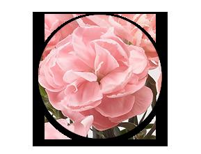 カーネーション ピーチコンポートお花