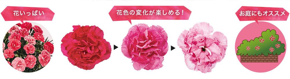 カーネーションさくらもなかは花いっぱい!花色の変化が楽しめる!