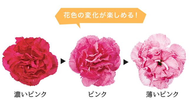 濃いピンクから薄いピンク。花色の変化が楽しめる!