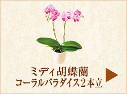 ミディ胡蝶蘭コーラルパラダイス2本立