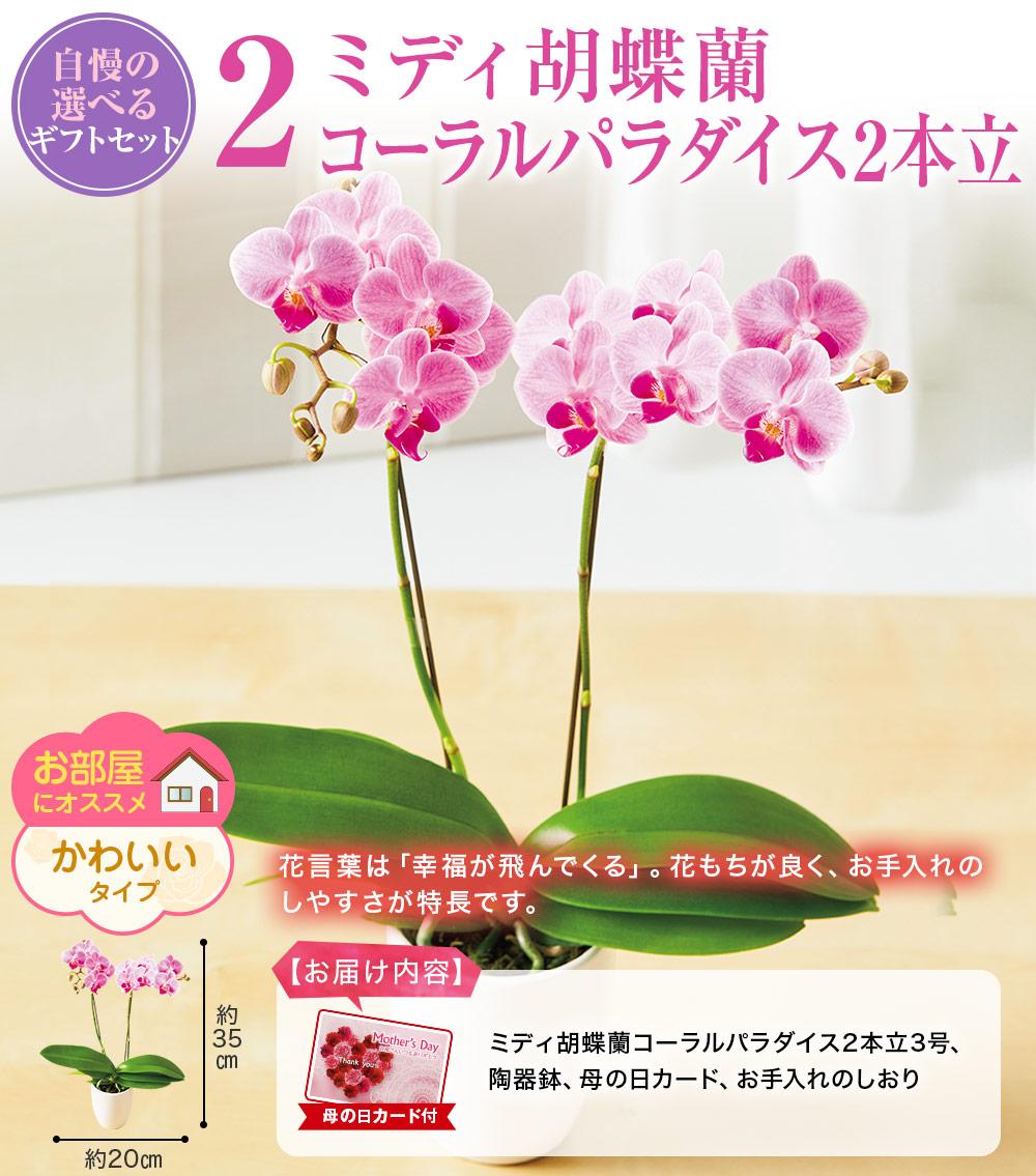 3.ミディ胡蝶蘭コーラルパラダイス2本立