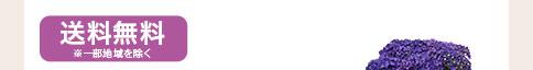 あじさいディープパープル 4月30日まで早期割引 送料無料