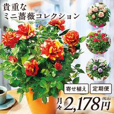 バラ屋おすすめ!貴重なミニ薔薇コレクション 定期コース(継続)